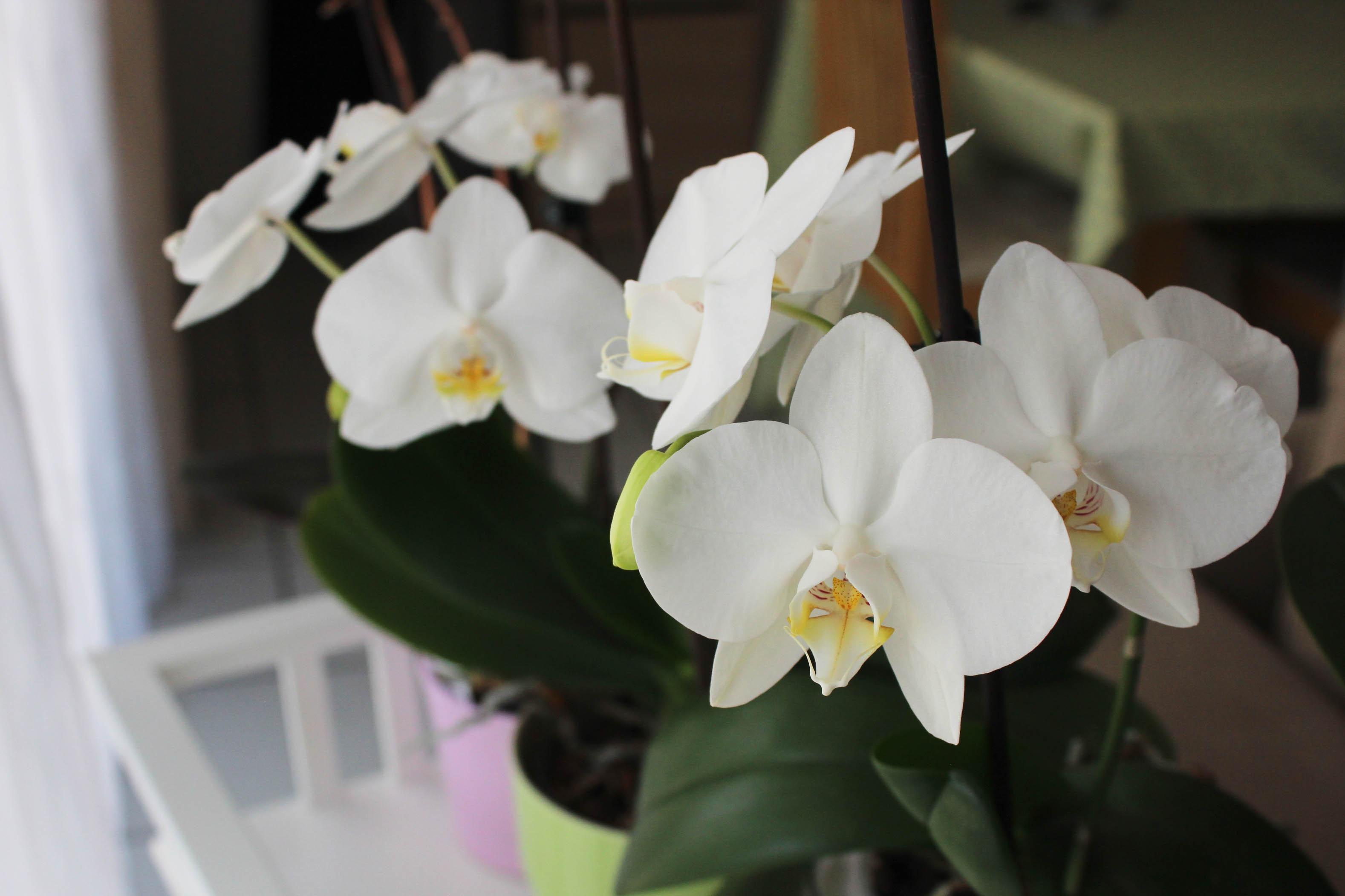 Mes orchidées en fleurs - les lubies de Louise (1 sur 4)