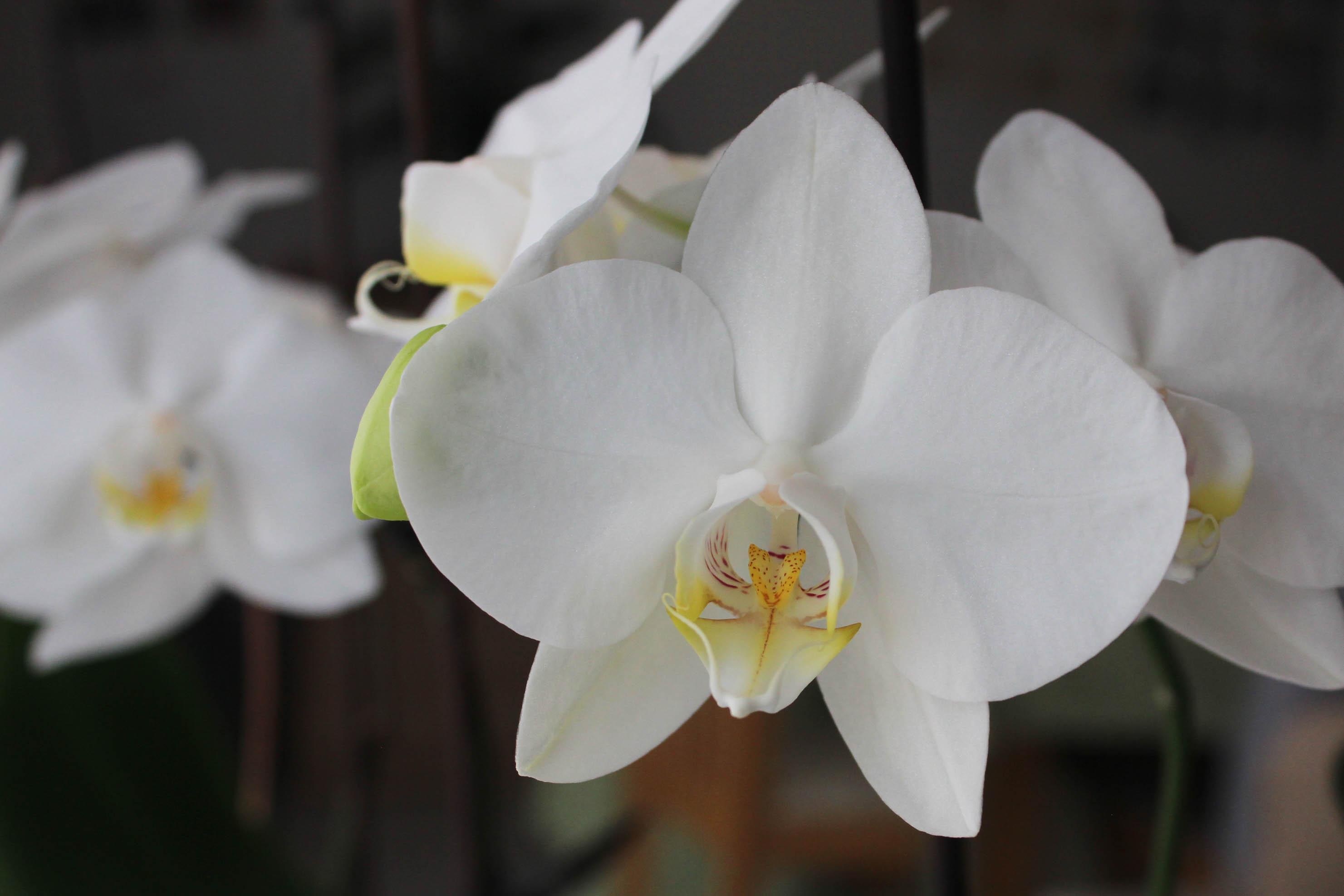 Mes orchidées en fleurs - les lubies de Louise (2 sur 4)
