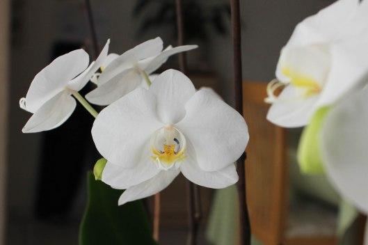 Mes orchidées en fleurs - les lubies de Louise (3 sur 4)