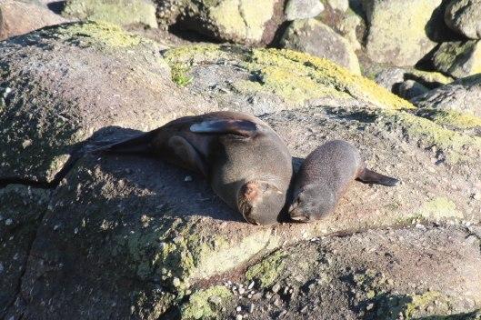 Nouvelle Zélande - Cape Foulwind - les lubies de louise (11 sur 21)