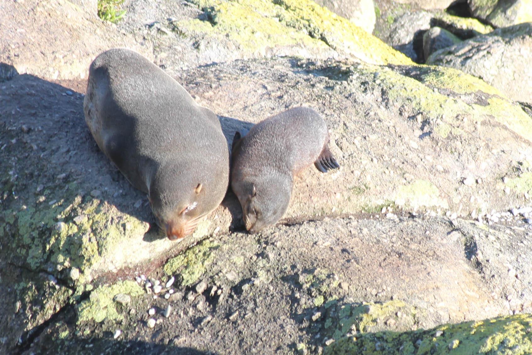 Nouvelle Zélande - Cape Foulwind - les lubies de louise (5 sur 21)