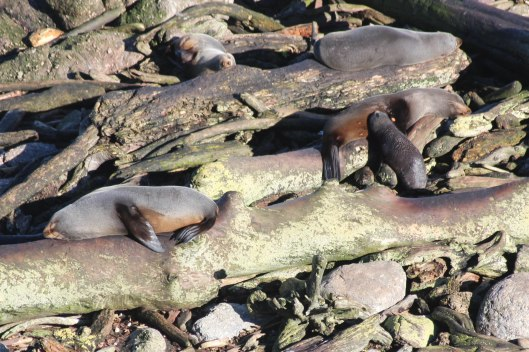 Nouvelle Zélande - Cape Foulwind - les lubies de louise (7 sur 21)